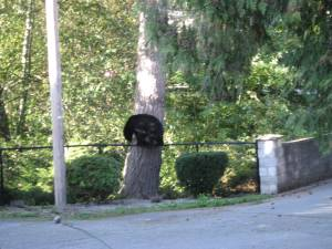 Bear on a fence